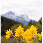 Arnica montana flowers growing in the mountains.